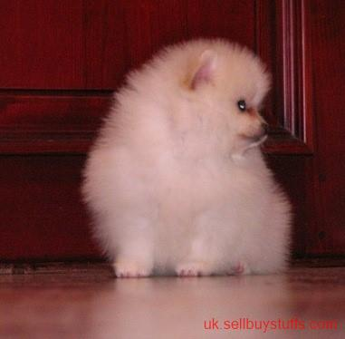 second hand/new:  Pure White Pomeranian Puppies.